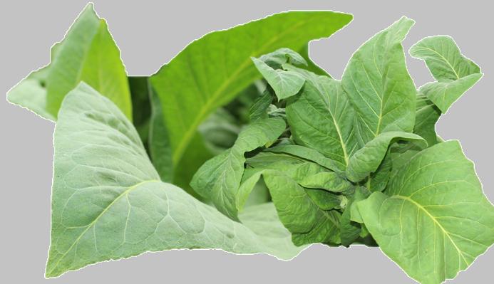 tabaco seguro de cosecha